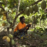 Opening the cocoa pods to be harvested.