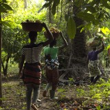 Cocoa farmers in the jungles of the Ivory Coast.