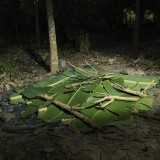 Harvested cocoa is laid on the ground , covered and left for fermentation.