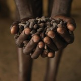 Cocoa is ready to be tested for quality in Abengourou. Ivory Coast.